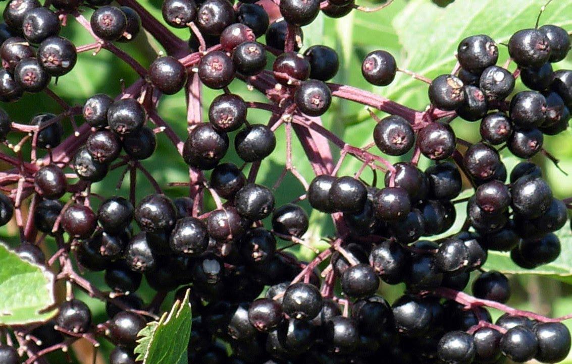 Листья бузины черной