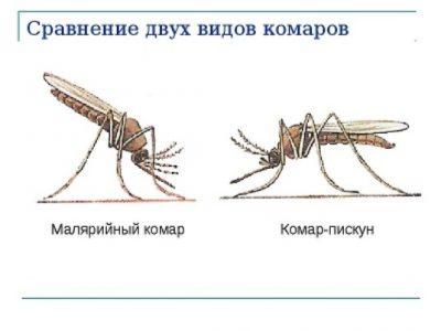 комар пискун и малярийный