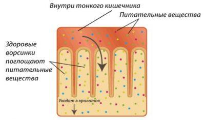Всасывание в тонком кишечнике